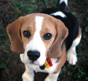 บีเกิ้ล สุนัขพันธุ์บีเกิ้ล