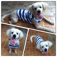 เสื้อผ้าสุนัข เสื้อยืดน้ำเงินขาว